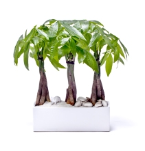 Plant The Future - Miami Rectangle White - Triple Money Tree - shop.plantthefuture.com